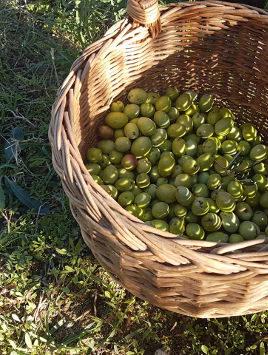 cesto olive raccolte a mano