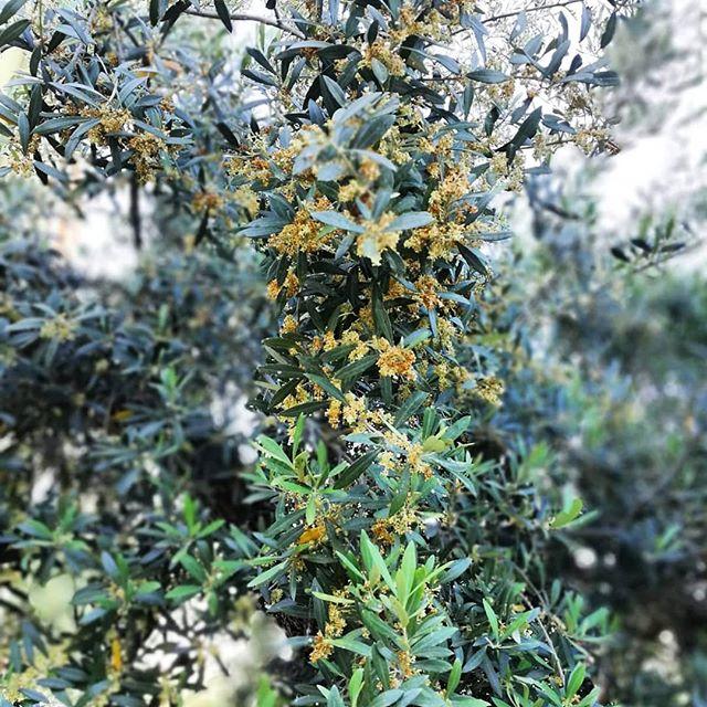 #Madreterra #ulivosecolare #fiori #frantoio #calopezzati #Calabria